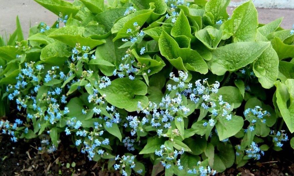 Выращиваем бруннеру, сорта, уход и размножение