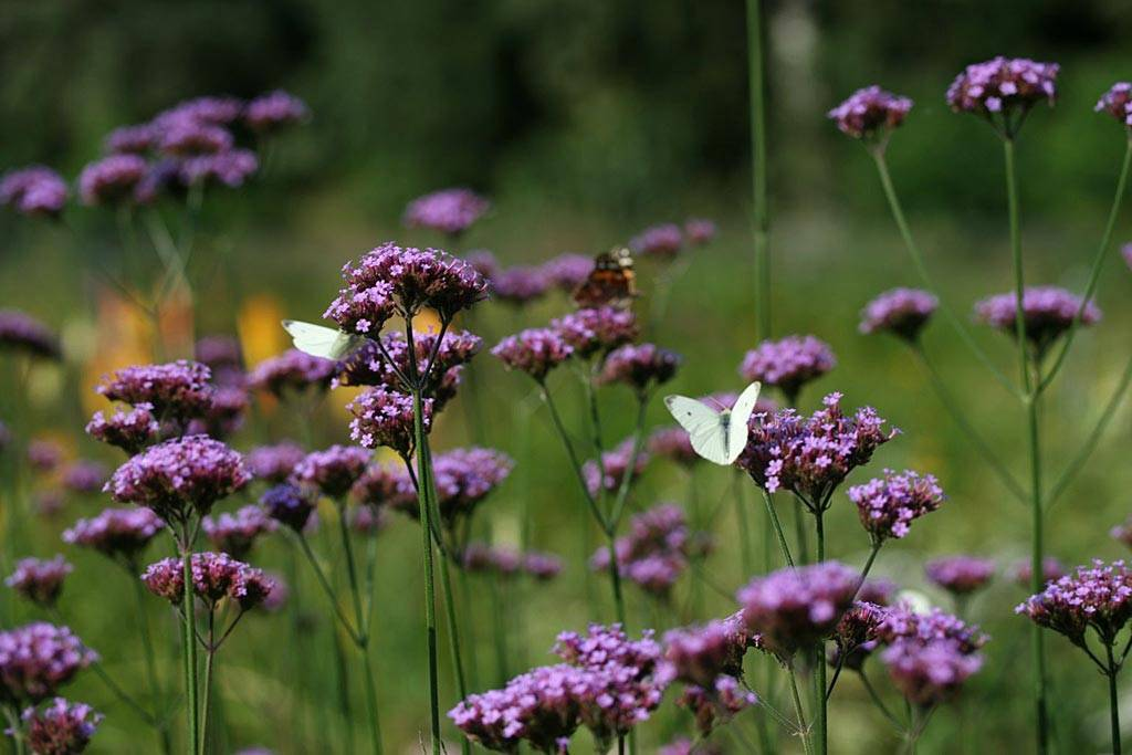 Цветок вербена: выращивание из семян, фото, уход и посадка в открытый грунт