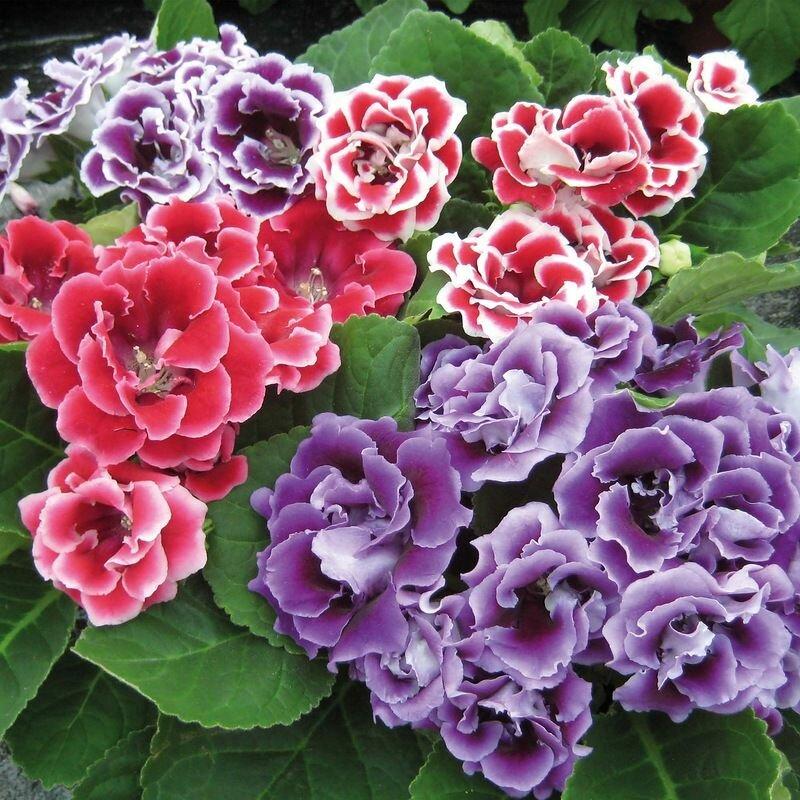 Цветок глоксиния — размножение в домашних условиях