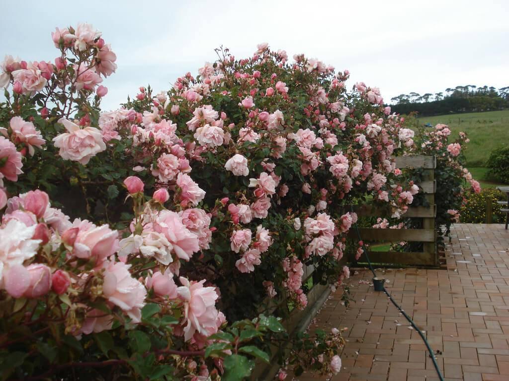Особенности плетистой розы цезарь: что это за сортовой цветок, как выращивать