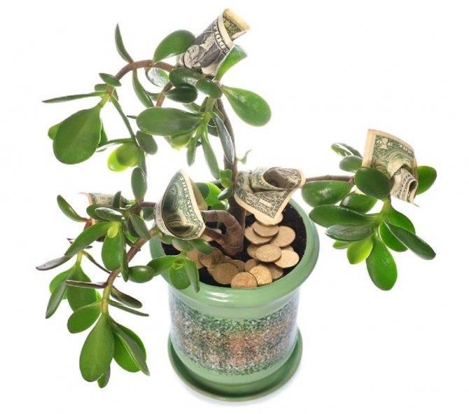 Как правильно пересадить денежное дерево из горшка в горшок для привлечения денег