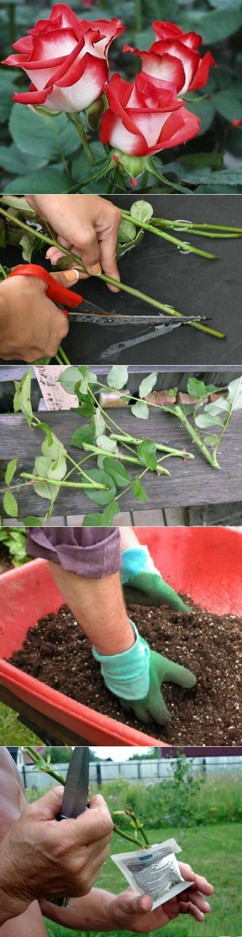 Как вырастить розу на участке