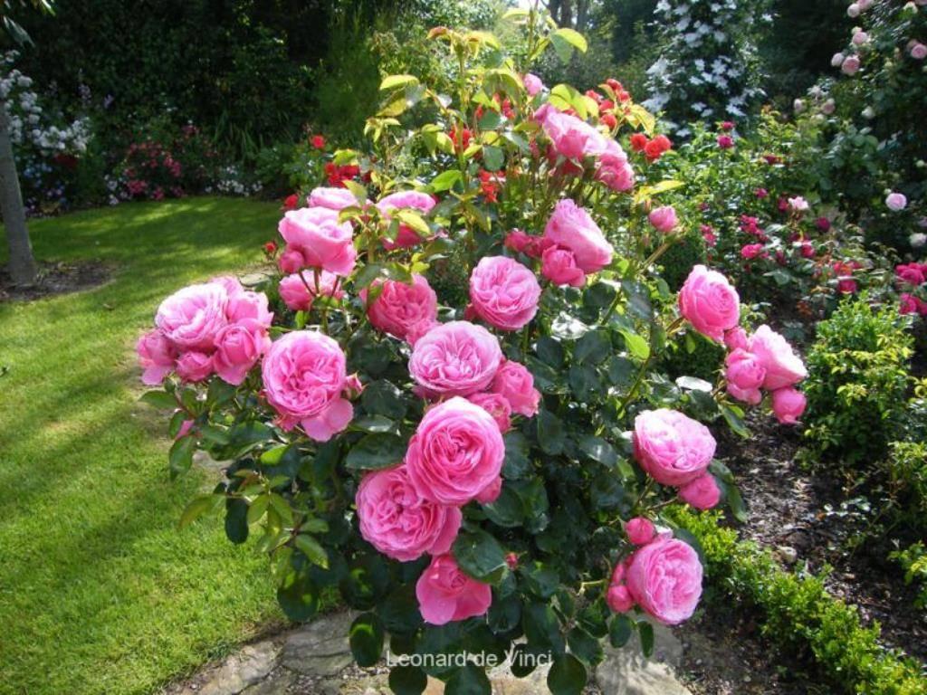 Роза «леонардо да винчи»: описание, выращивание и уход