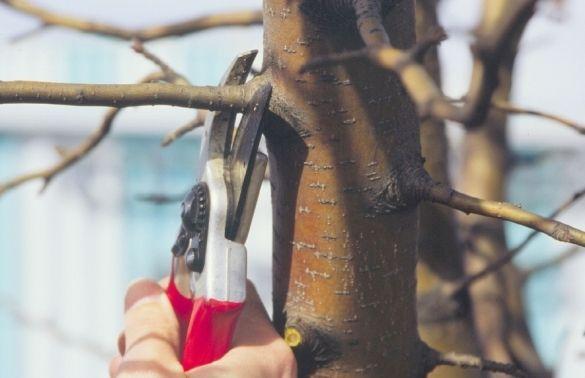 Чем обработать спилы на плодовых деревьях. замазываем раны и спилы у деревьев правильно