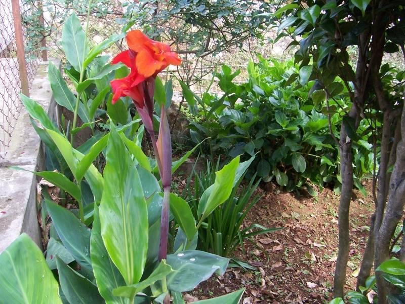 Канны: посадка и уход в открытом грунте и в домашних условиях
