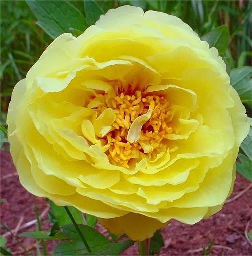 Желтые пионы — лучшие сорта и уход за ними