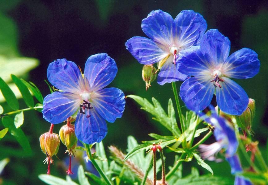 Герань (geranium): описание растения от корней до кончиков листьев