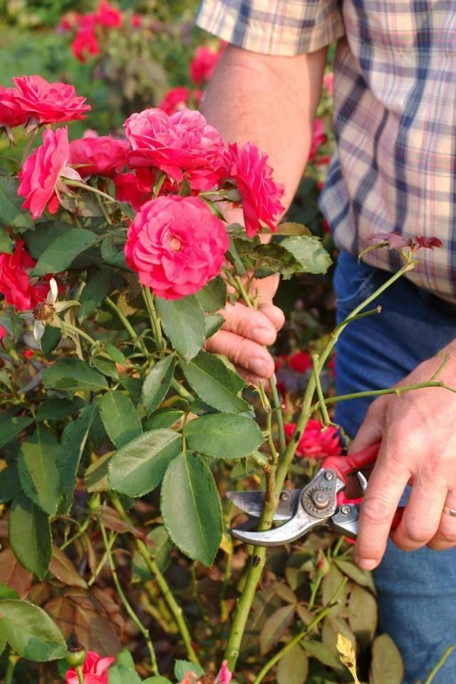 Как обрезать розы после цветения