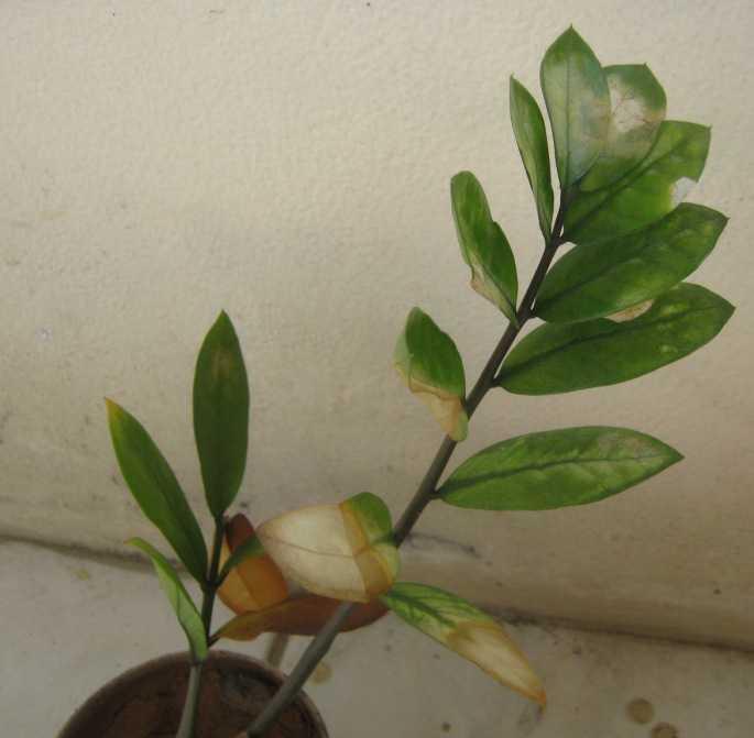 Болезни и вредители замиокулькаса (долларовое дерево): как избавиться от них