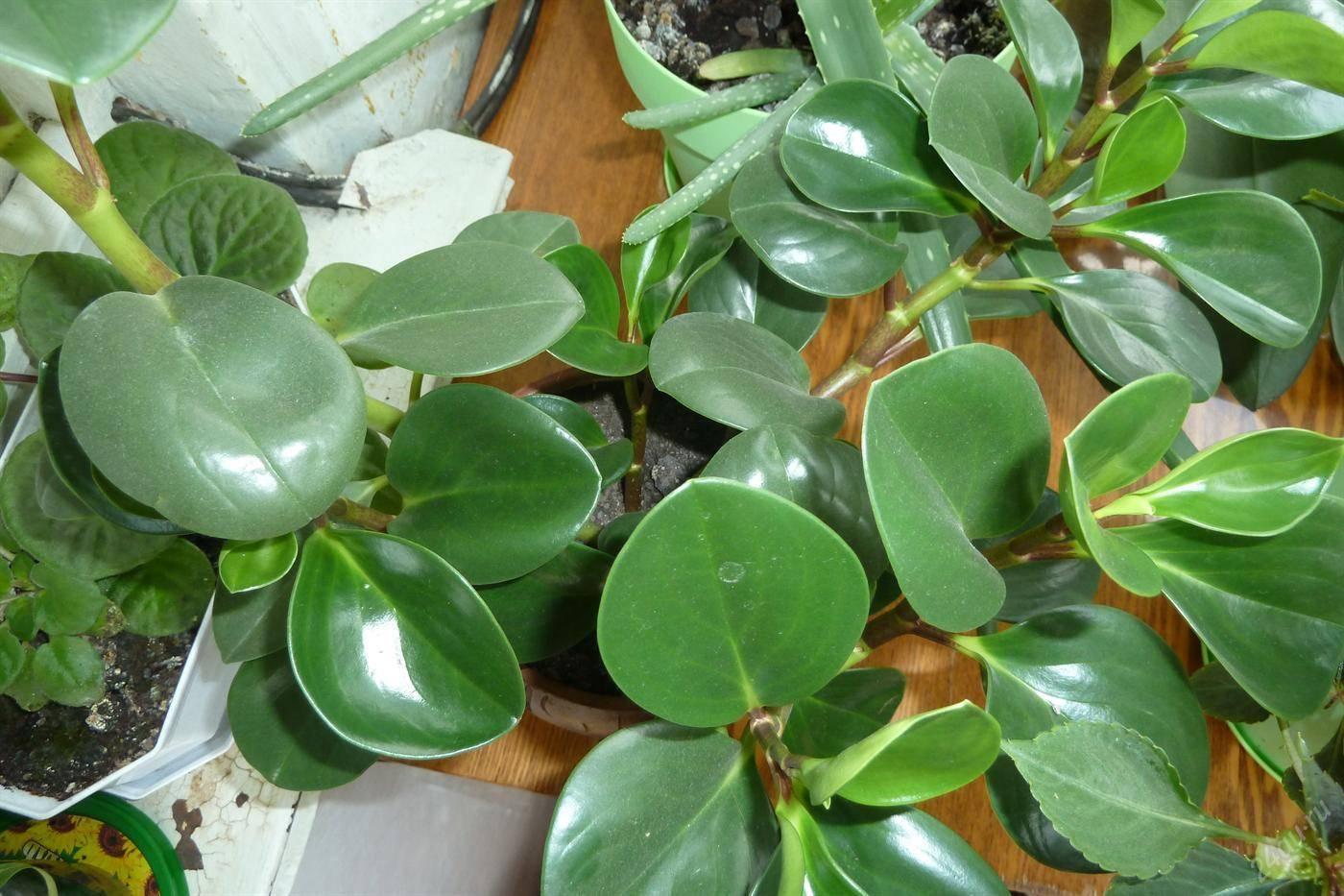 Пеперомия каперата (37 фото): описание сортов «лилиан», schumi red и teresa, уход за цветком в домашних условиях, размножение сморщенной пеперомии листом