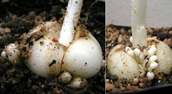 Когда выкапывать рябчики после цветения и как хранить до посадки