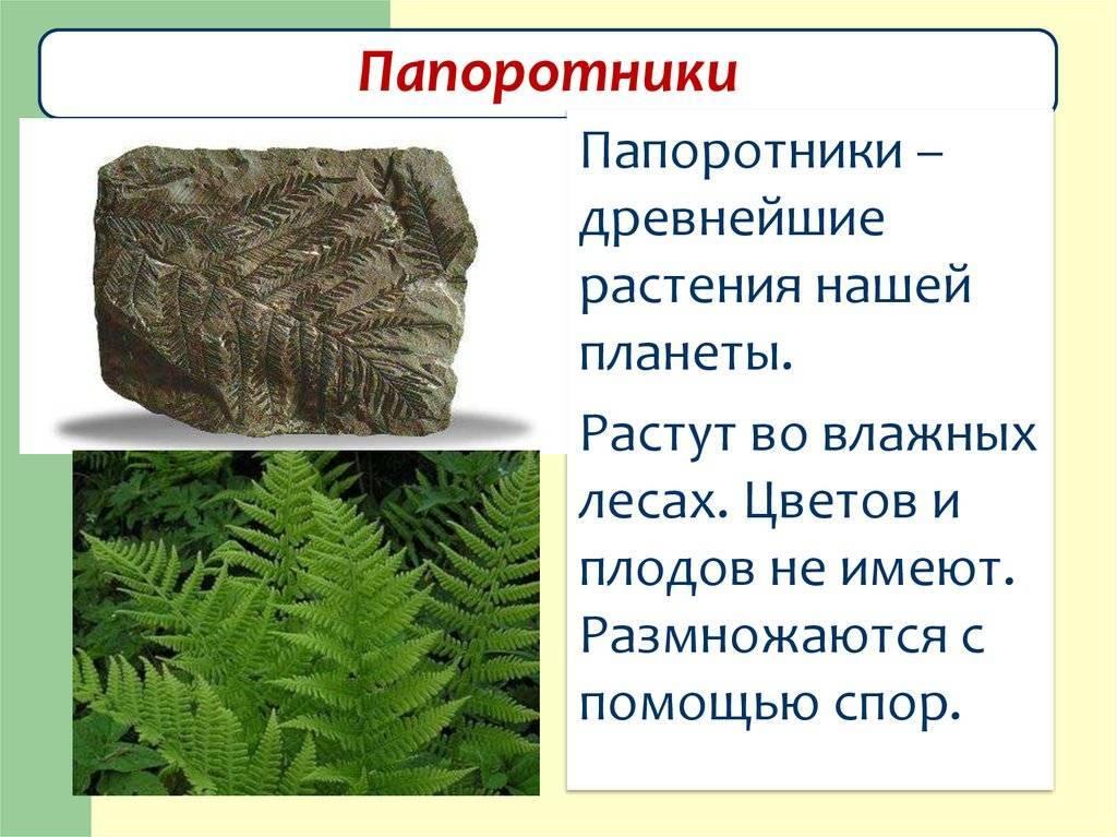 Виды папоротников: комнатный или домашний, садовый, лесной и древний, а также названия и фото других представителей