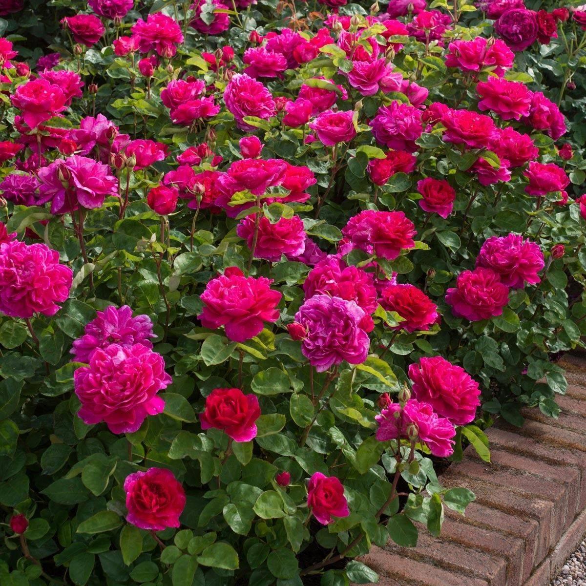 Розы кустовые: описание видов и сортов, фото с названием