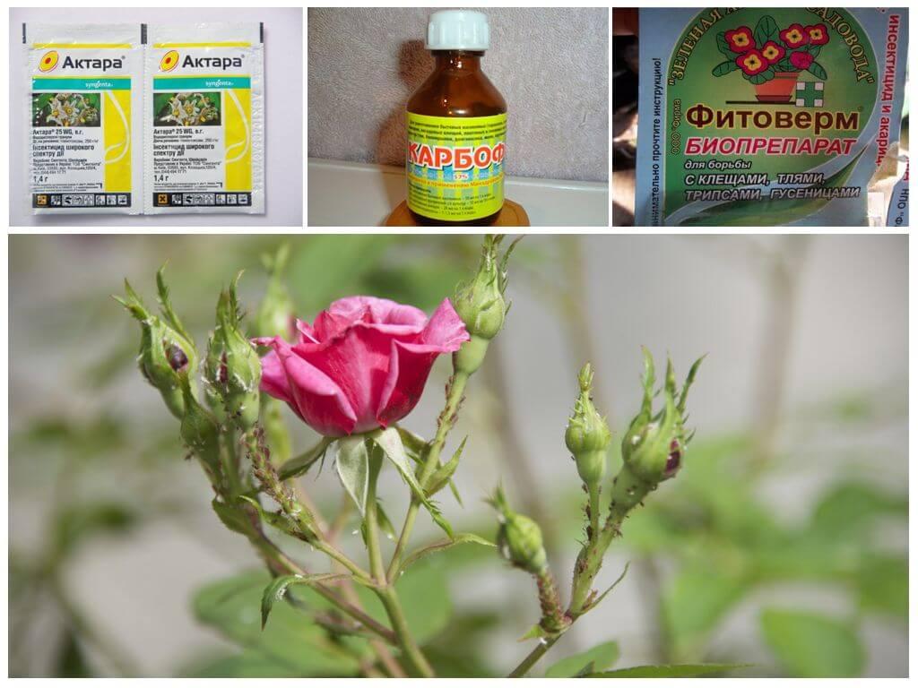 Тля на розах — что нужно срочно сделать. химические препараты против тли | о розе
