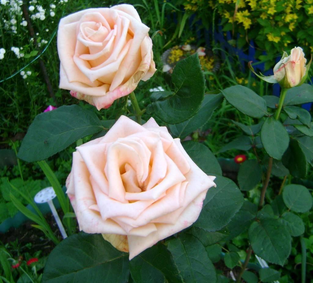 Роза цезарь (cesar) — описание сорта