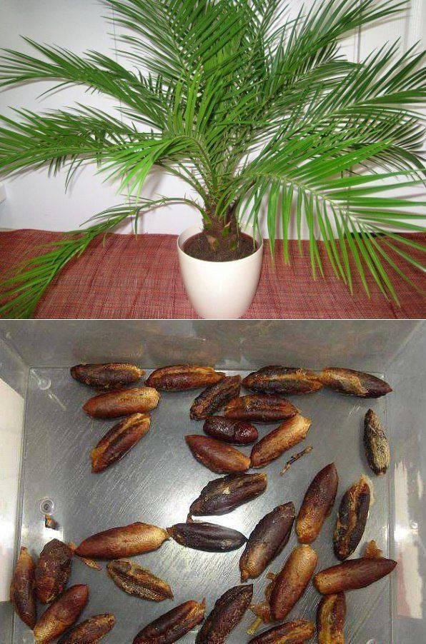 Финиковая пальма из косточки в домашних условиях. особенности ухода