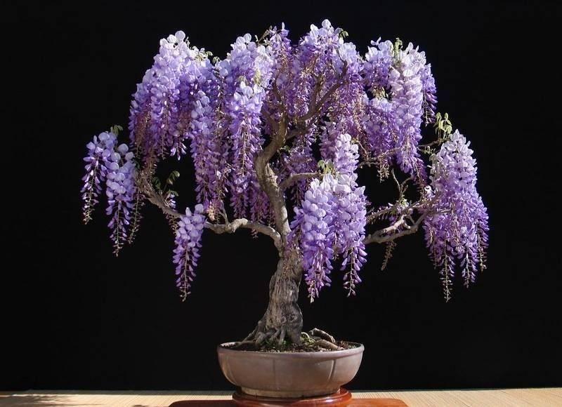 Домашняя глициния (29 фото): уход и выращивание. как вырастить цветок из семян в горшке? как размножить в квартире?