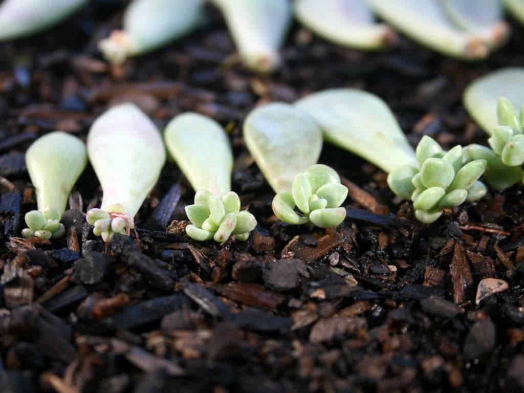 Размножение и выращивание суккулентов дома