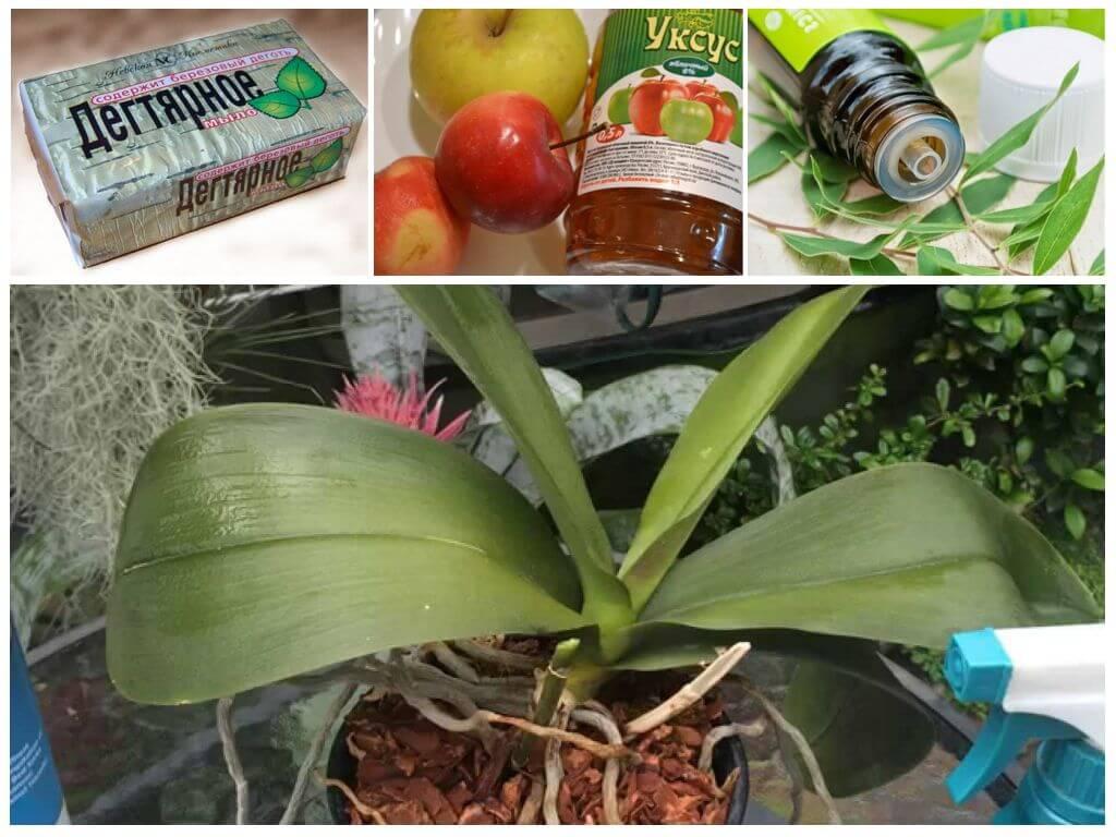 Вредители орхидей: фото с названиями белых, черных и других насекомых, а также описание способов борьбы с ними, в частности, чем из средств лучше обрабатывать цветок