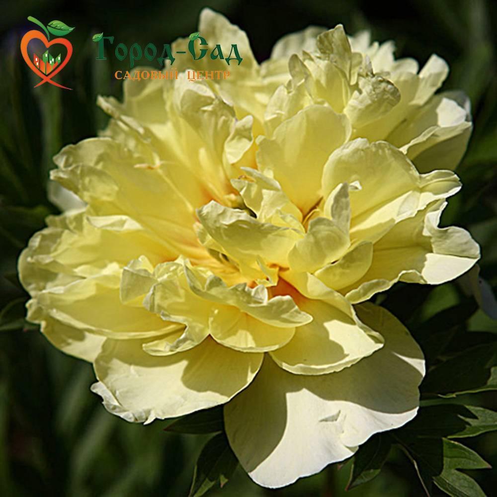 Пион ито-гибрид бартзелла: фото цветов и особенности bartzella