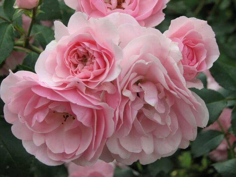 Роза боника флорибунда: описание, особенности посадки и уход