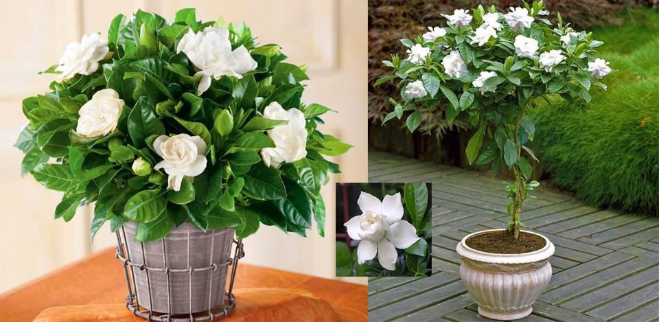 Цветы гардения: фото, уход и выращивание комнатной гардении в домашних условиях