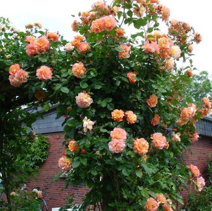 Роза Алоха (Aloha)