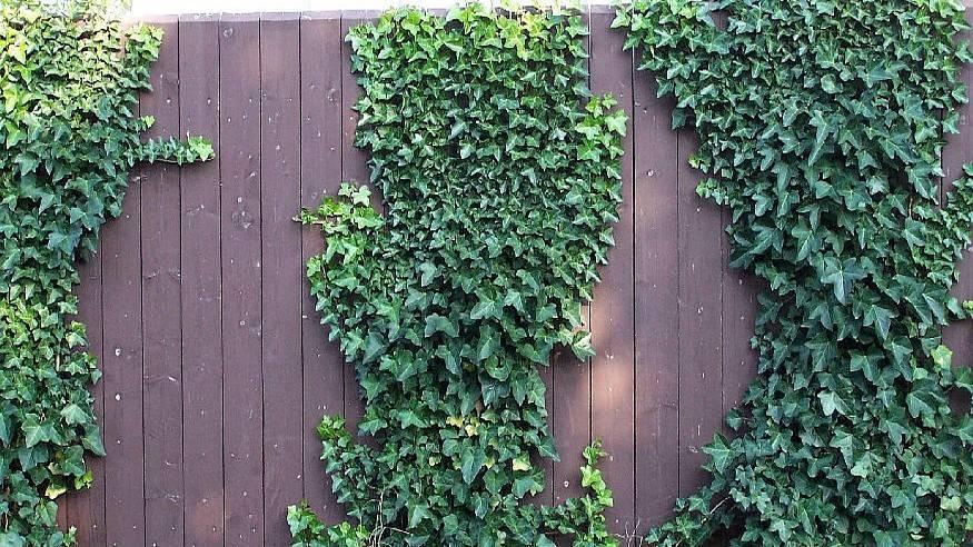 Плющ садовый вечнозеленый морозостойкий — как посадить в саду