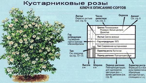 Парковая грандифлора терракота: что это за сорт роз, характеристики шраба
