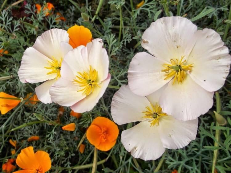 Эшшольция: выращивание из семян