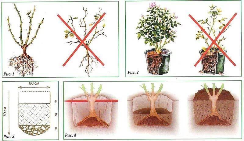 Советы от опытных садоводов: как сажать розы осенью?