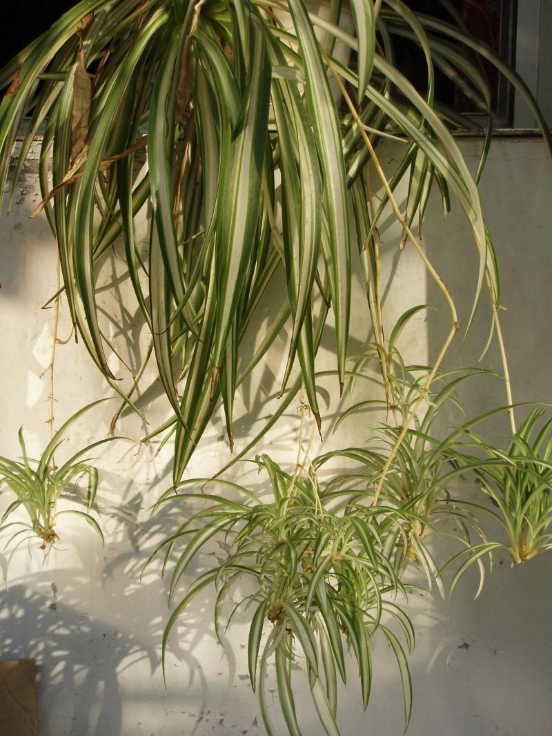 Посадка и выращивание хлорофитума кудрявого дома: как ухаживать, удобрять