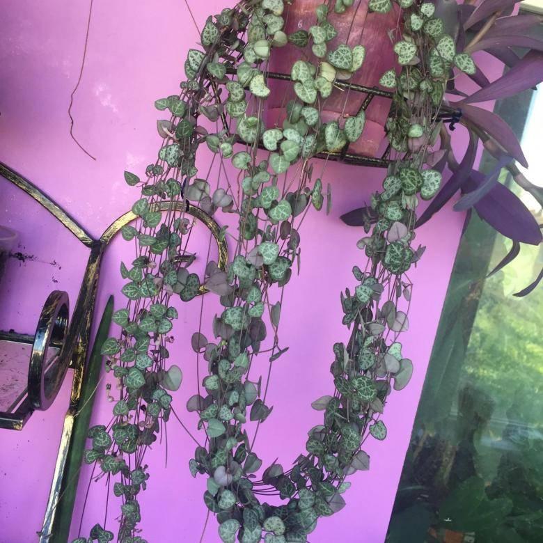 Неприхотливое и забавное растение церопегия. уход, размножение в домашних условиях