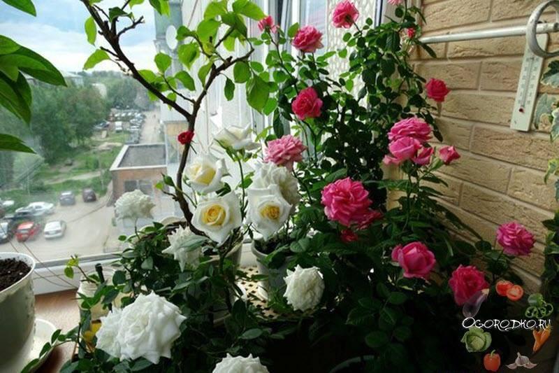 Выращивание пионов в комнатных горшках: как вырастить в квартире, на балконе