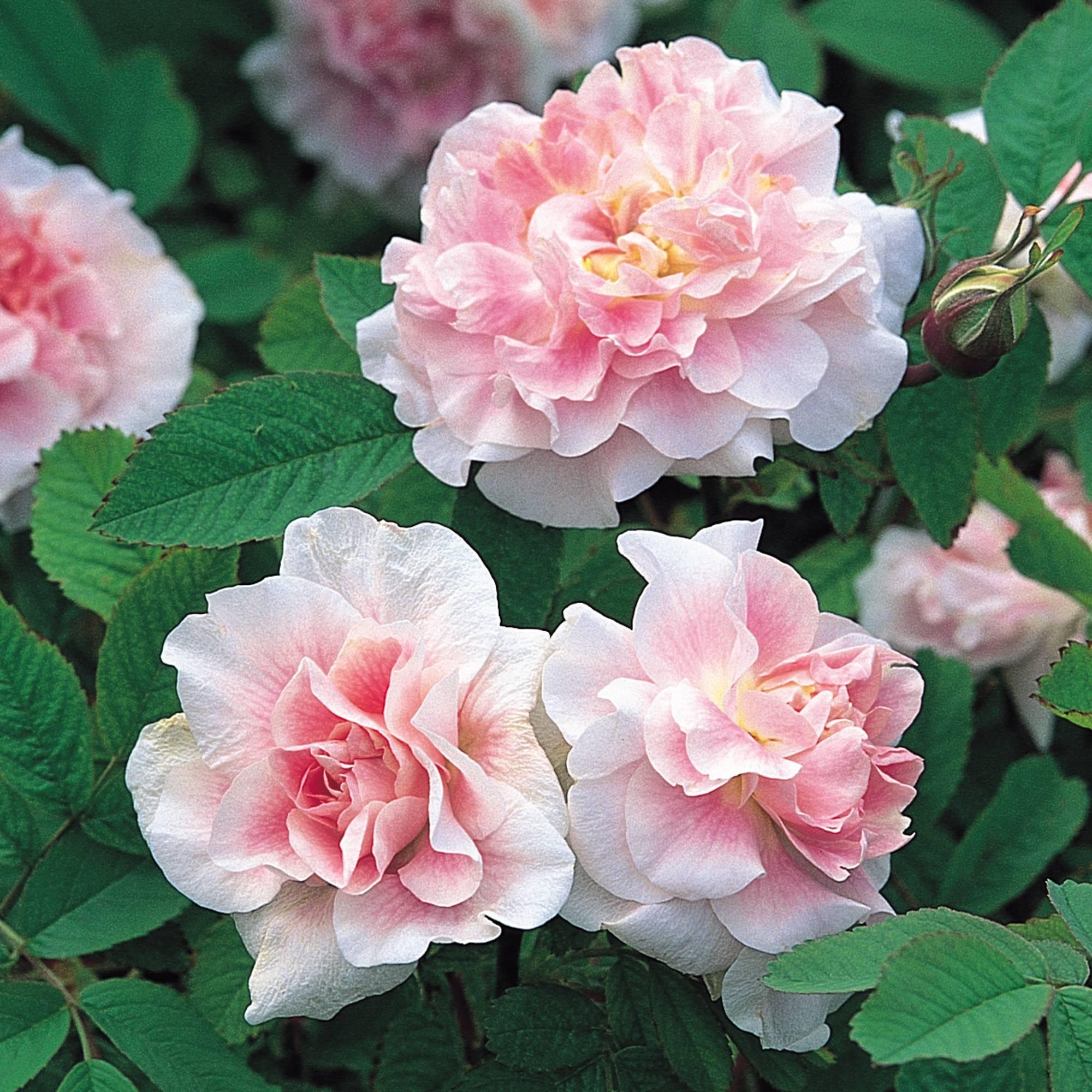Роза без шипов — какие бывают, плетистые и другие виды