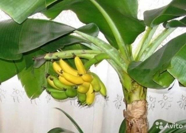 Выращивание банана дома: секреты и особенности