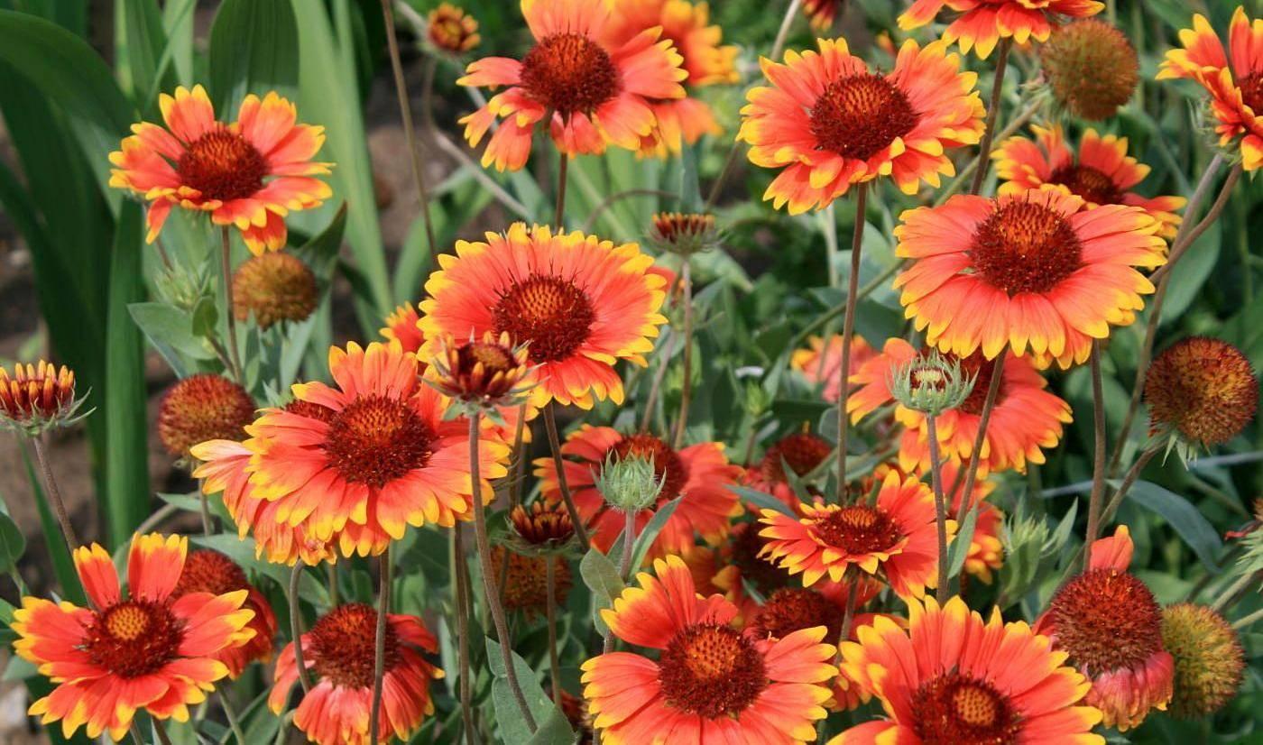 Цветы гайлардия многолетняя посадка и уход выращивание из семян на рассаду