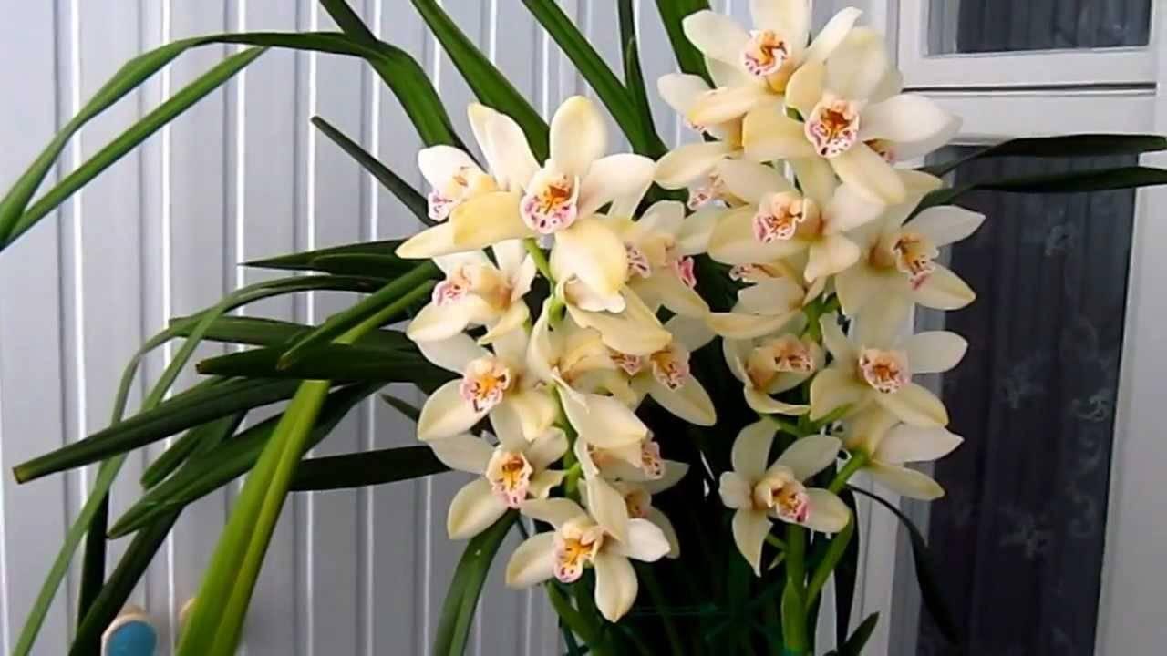 Орхидея цимбидиум в домашних условиях, фото