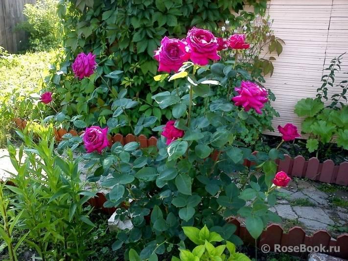 Роза чг биг перпл — волшебство перевоплощения