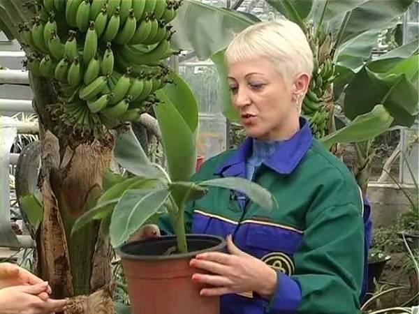 Как вырастить банан дома, описание, виды и сорта с фото