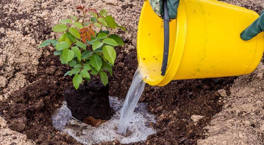 Вереск: уход в домашних условиях, размножение, выращивание дома - посадка, обрезка вереска