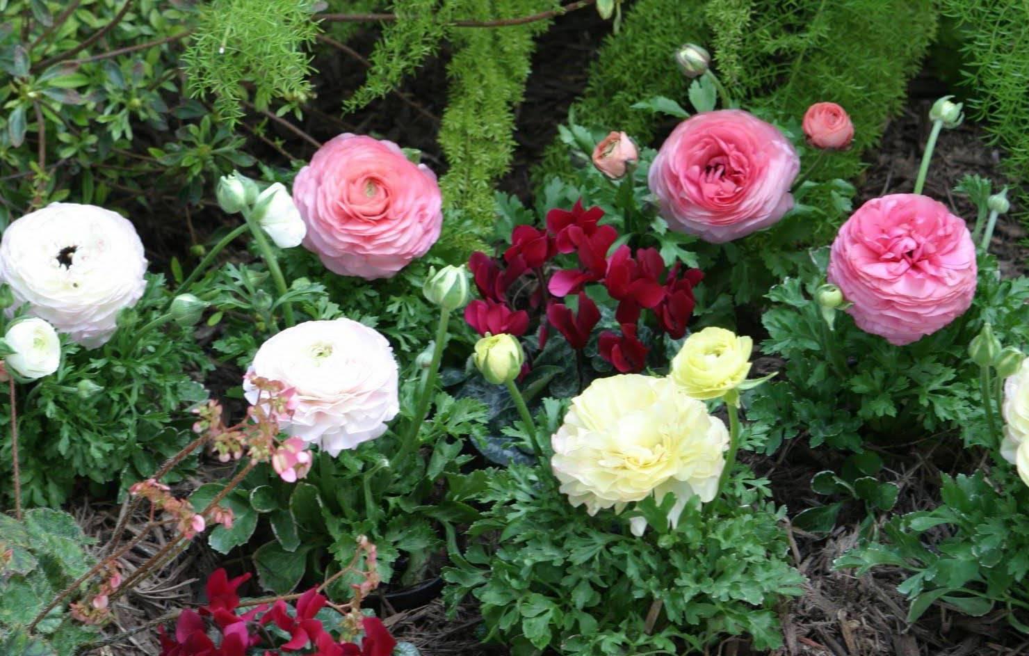 Ранункулюс цветы — выращивание в домашних условиях