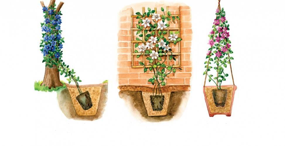Пересадка клематиса: когда лучше пересаживать: весной или летом с одного места на другое? как правильно пересадить взрослый цветущий клематис?