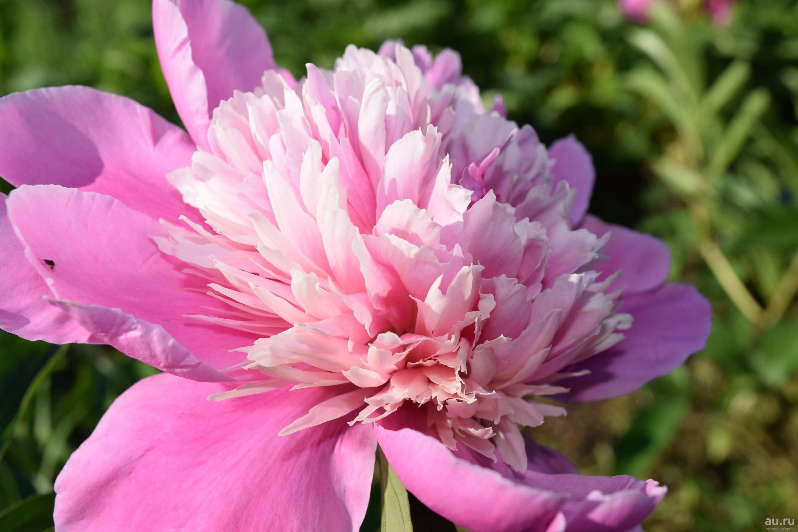 Описание травянистого молочноцветкового пиона сорта ширли темпл, уход в саду
