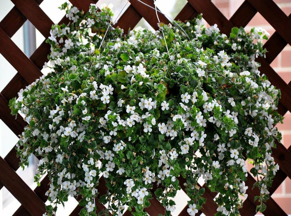 Бакопа (сутера): посадка и уход, выращивание, размножения, фото, видео - читайте на орхис