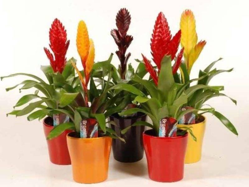 Цветок вриезия спленриет: правила пересадки после цветения, выбора горшка и почвы