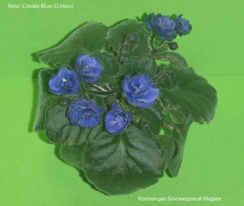 Как выглядит фиалка — описание растения