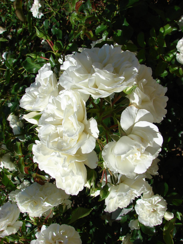 Особенности сорта роз эксплорер: выращивание классического цветка, как ухаживать