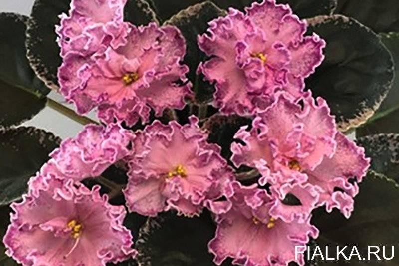 Сорта фиалок (65 фото): виды сенполий с названиями, характеристики сортов mac's scorching sun и reigning beauty