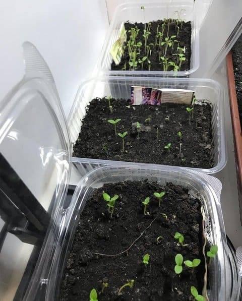Эустома — выращивание